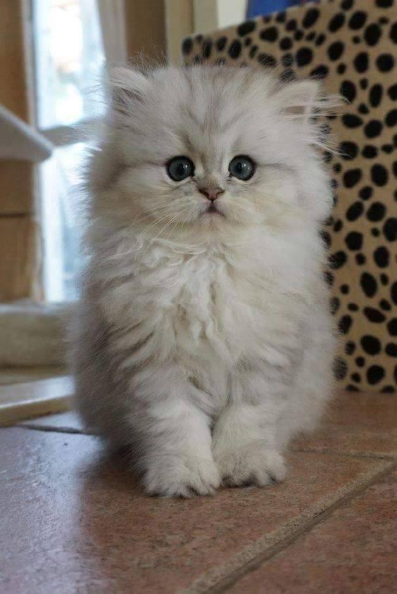 sweetest kitty fluffy