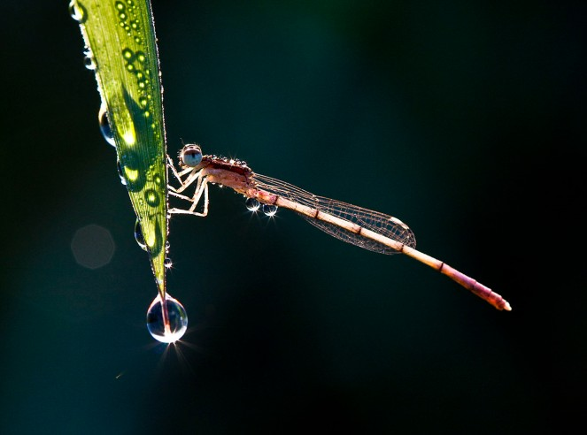Damsels-and-Dewdrops-14