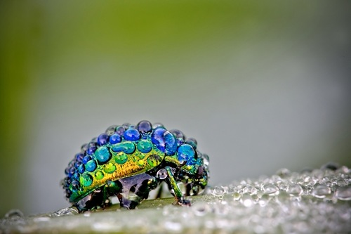 Insects-in-dewdrops-by-French-amateur-photographer-David-Chambon-2