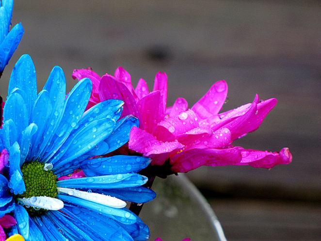 daisies-daisy-flowers-rain