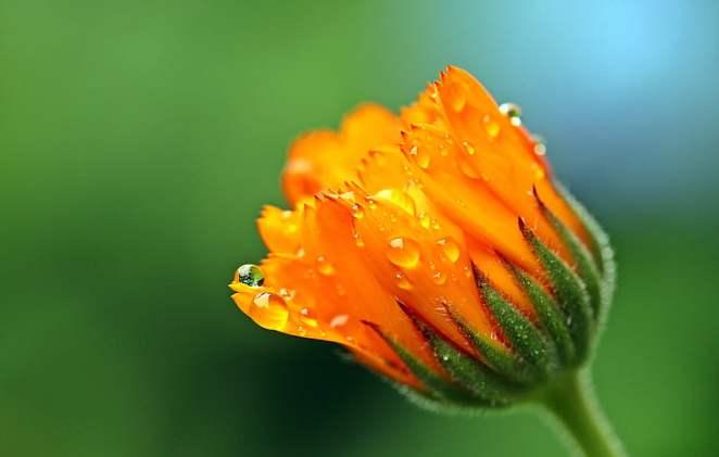 marigold-calendula-orange-blossom