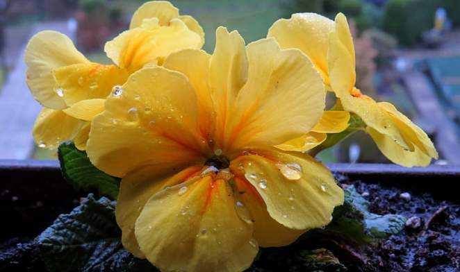 cowslip-raindrop-yellow-close