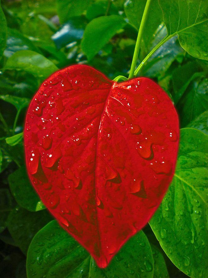 heart-leaf-love-valentine