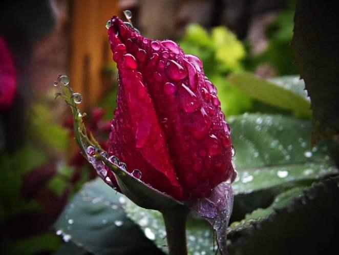 red-rose-rain-drops-of-rain-macro
