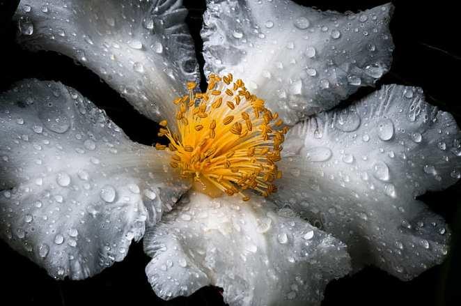 flower-white-yellow-wet
